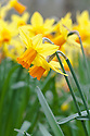Daffodil (Narcissus 'Jetfire'), mid March.