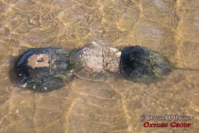 Males & Female Horseshoe Crabs Mating