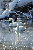 USA, Wyoming, Yellowstone National Park, Trumpeter Swans swim and take refuge on the Firehole River