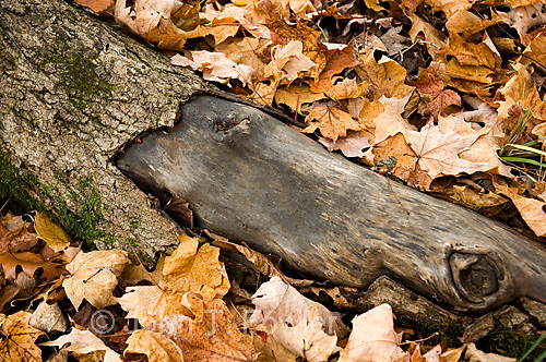 Dead branch of maple tree on forest floor<br />