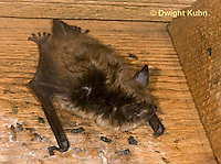 MA20-602z  Little Brown Bats, Myotis lucifugus