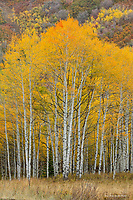 Aspen grove in the Wasatch Mountains