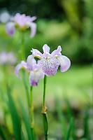 Iris Versicolor 'Rowden Cadenza'