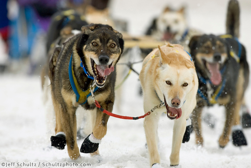 Hans Gatt Dogs on Trail 2005 Iditarod Ceremonial Start AK Anchorage Cordova Street