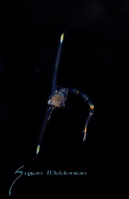 Crab larva