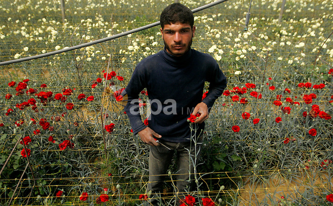 Palestinian workers collect red carnations for export at the Hijazi flower farm in rafah , in the southern Gaza Strip, on March 26, 2009. The Palestinian farmers, whose exports are crippled by an Israeli blockade on the Hamas-run Strip, have disposed of part of their flower crop as animal feed . APAIMAGES PHOTO/ YASSER QUDIH