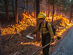 Stanislaus Forest Firefighter uses drip torch to fire along Evergreen Road near Yosemite National Park.