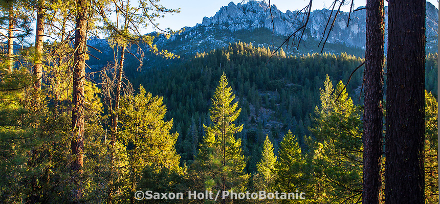Mixed Conifer Forest with Pinus ponderosa Ponderosa Pines in California; Castle Crags State Park, Shasta-Trinity National Forest