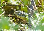 Coast garter snake, Thamnophis elegans terrestris, Tilden Regional Park, California