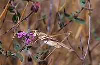 Lilienblatt-Sichelschrecke, Lilienblattsichelschrecke, Weibchen, Tylopsis liliifolia, Lily Bush-cricket, Lily Bush cricket, female