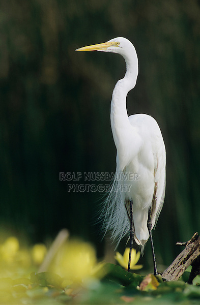 Great Egret, Ardea alba, adult with Yellow Water Lily, Welder Wildlife Refuge, Sinton, Texas, USA, June 2005