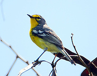 Adelaide's warbler. this warbler is found on Puerto Rico, Vieques, Barbuda and St. Lucia.