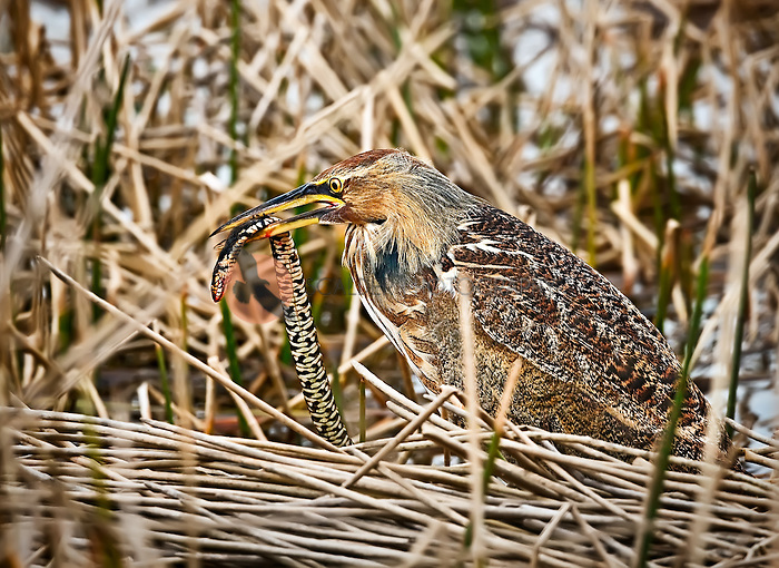 American Bittern with a snake in it's beak in Viera Wetlands, Florida