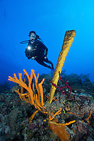 TH0856-D. Brown Tube Sponges (Agelas conifera), red Erect Rope Sponges (Amphimedon compressa), and a Yellow Tube Sponge (Aplysina fistularis) decorate a reef outcropping in 22 meters over which a female scuba diver (model released) swims. Cuba, Caribbean Sea.<br /> Photo Copyright &copy; Brandon Cole. All rights reserved worldwide.  www.brandoncole.com