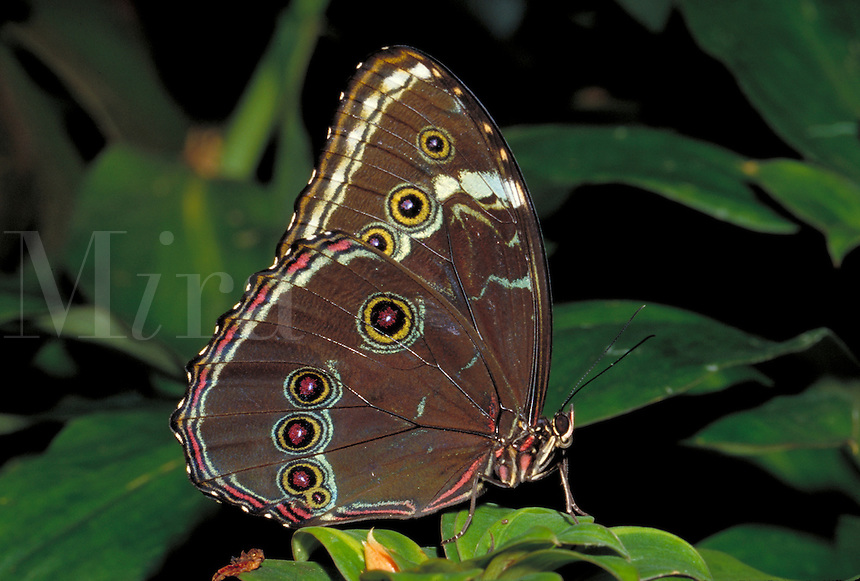 MORPHO PELEIDES, Common Morpho Butterfly     subfamily - Morphinae;    family - Nymphalidae; order - Lepidoptera;      class - Insecta;    phyllum - Arthropoda;     kingdom - Animalia. NEW ORLEANS LOUISIANA USA AUDUBON ZOO.
