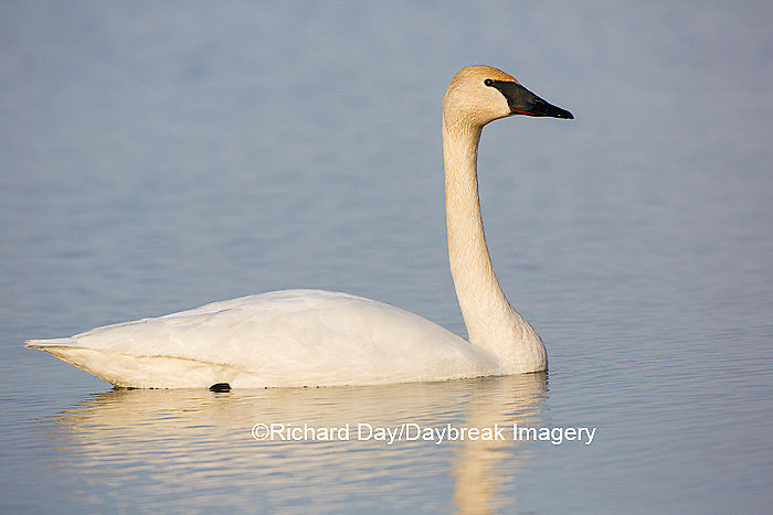 00758-01010 Trumpeter Swan (Cygnus buccinator) in wetland, Marion Co., IL