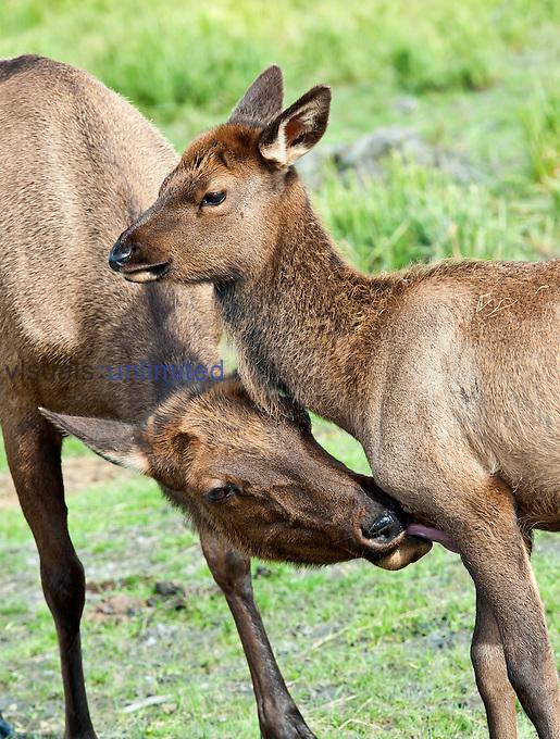 Female Elk (Cervus elaphus) grooming young, Alaska, USA.