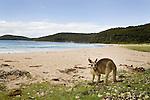 Eastern Grey Kangaroo (Macropus giganteus) on beach, Pebbly Beach, Murramarang National Park, New South Wales, Australia