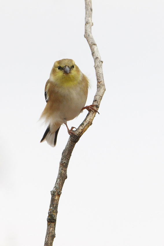 Females and all winter birds are more dull but identifiable by their conical bill; pointed, notched tail; wingbars; and lack of streaking.