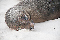 I nelt down to photograph this young individual and it opened its eye wide without moving any part of its body.  I was careful to back aware carefully so as not to disturb it more.  The seal closed its eye and went back to sleep.