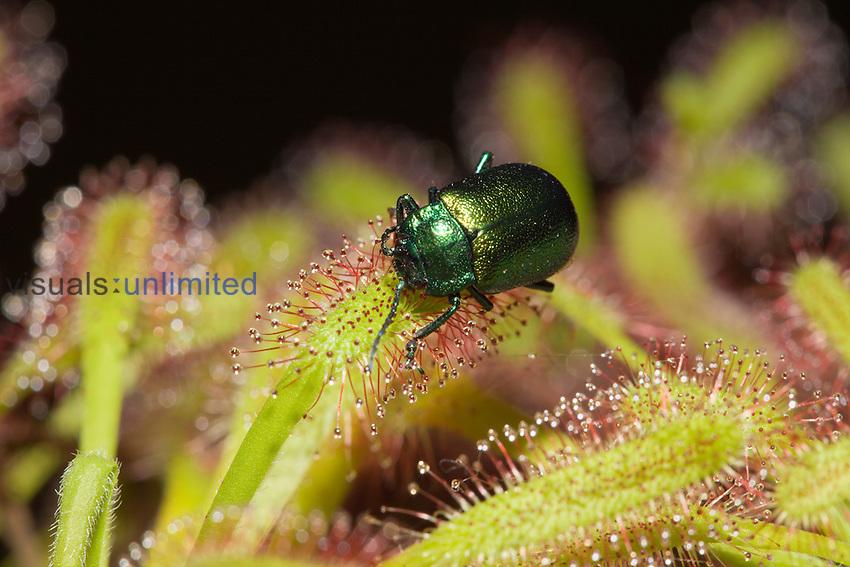 Leaf Beetle (Chrysomela) on an insectivorous Sundew plant (Drosera).