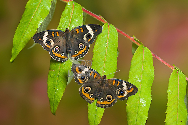 Common Buckeye butterflies (Junonia coenia) land on wet sumac leaves to sip water. Their bold eyespots serve to startle or distract predators and allow a quick escape.  Ontario, Canada.