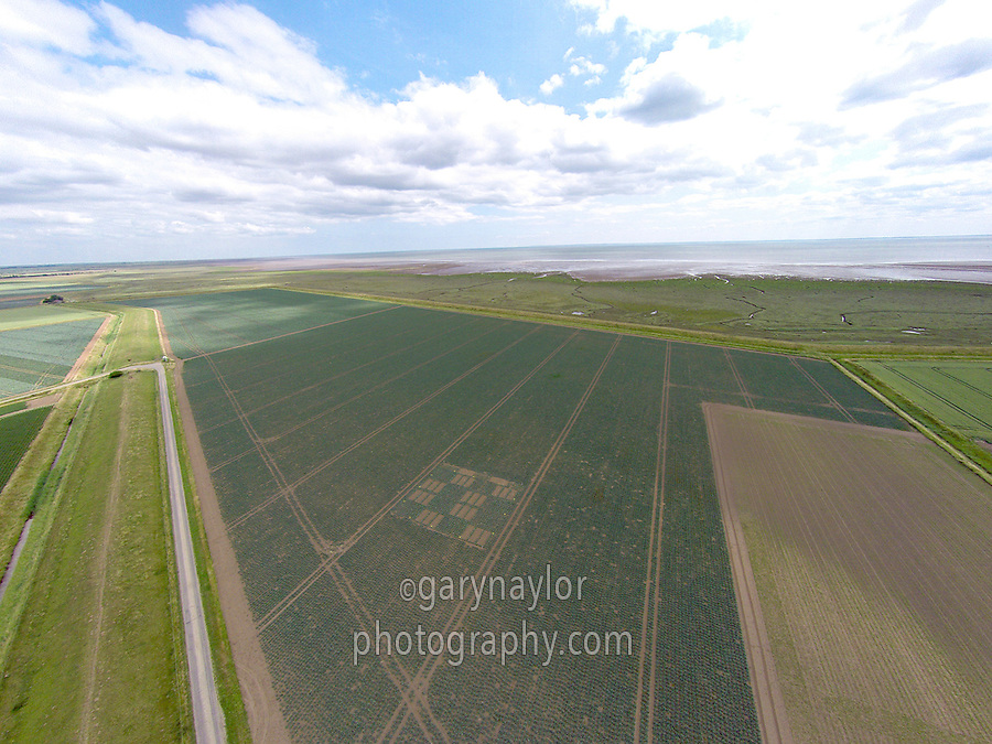 Dutch white cabbage field with trials plot - Lincolnshire, July