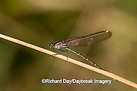 06015-001.03 American Rubyspot (Hetaerina americana) male, Embarras River, Jasper Co. IL