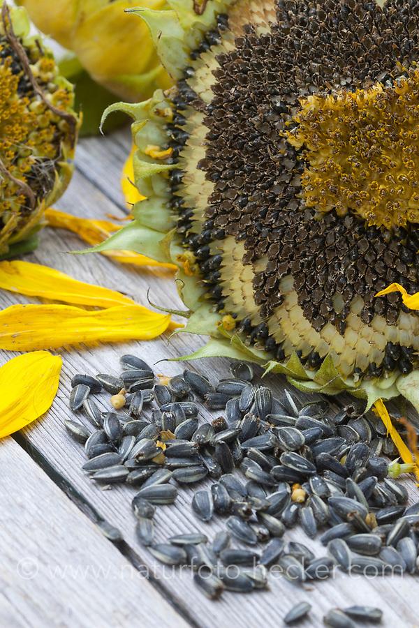 Sonnenblumen-Kerne, Sonnenblume, Gewöhnliche Sonnenblume, Kerne, Sonnenblumen, Sonnenblumenkerne, Samen, Helianthus annuus, Common Sunflower, Sunflower, seed, sunflower seed