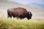 a bull bison in the national bison range in western montana