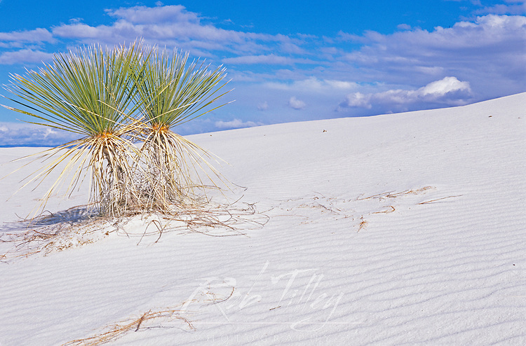 Soaptree Yucca, White Sands NM, New Mexico, USA