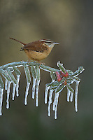 Carolina Wren (Thryothorus ludovicianus), adult perched on icy branch of Christmas cholla (Cylindropuntia leptocaulis), Hill Country, Texas, USA