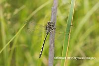 06496-00301 Arrowhead Spiketail (Cordulegaster obliqua) male Little Shoal Creek Fen Washington Co. MO