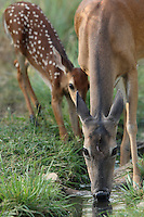 Mother & fawn drinking.