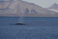 Fin Whale Balaenoptera physalus Surfacing near Glacier on Spitsbergen Arctic Norway North Atlantic