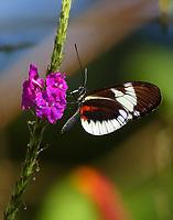 heliconius sp.