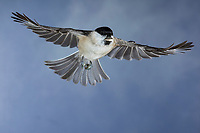 Sumpfmeise, im Flug, Flugbild, fliegend, mit Vogelfutter im Schnabel, Sumpf-Meise, Nonnenmeise, Meise, Meisen, Poecile palustris, Parus palustris, marsh tit, flight, flying, La mésange nonnette