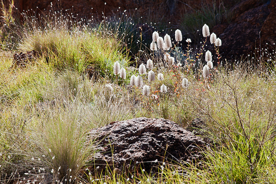 Central Australia is expecting a once a decade wildflower event. Summer and autumn Rains were backed up with unusual winter falls resulting in a sense of anticipation among desert dwellers.