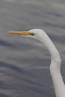 A wild Great Egret (Casmerodius albus) seen at a park pond in Tucson Arizona, on a winter day.