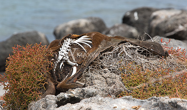 The carcass of a sea lion drying in the sun.