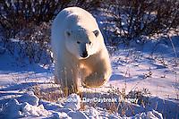 01874-07510 Polar Bear (Ursus maritimus) walking  Churchill  MB