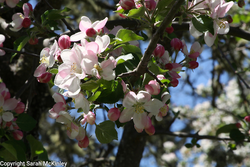 Deep pink buds and pale pink apple blossoms grow on a tree outside of Willits in Mendocino County in Northern California.