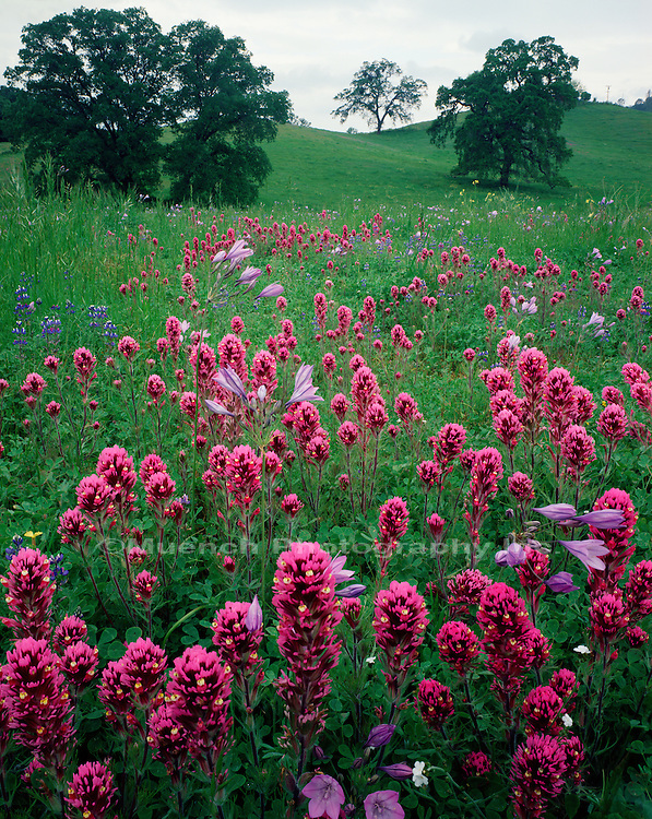 """""""Owl Clover   Live Oak, Mother Lode Country   CALIFORNIA"""""""