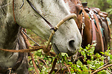 USA, Oregon, Joseph, horse close up in the rain in Steer Creek drainage, Northeast Oregon