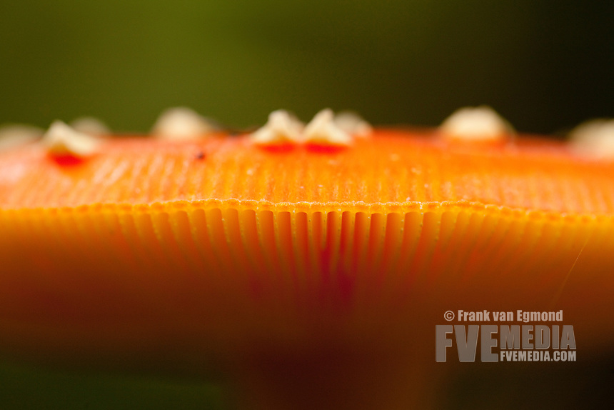 Fly Agaric hood and gills. Fall 2010, Herperduin, Herpen, The Netherlands.