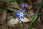 Glory-of-the-snow, Chionodoxa. Found in Ipswich River Wildlife Santuary, Topsfield, MA USA