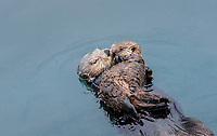 Sea Otter (Enhydra lutris) mom with young pup.  Pup is sleeping on mom's chest.  Prince William Sound, Alaska.  Spring.
