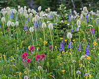 Wildflowers--lupine, arnica, paintbrush, valerian and anemone or western pasqueflower--in subalpine meadow, Mount Rainier National Park, WA.  Summer.