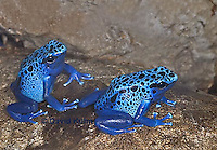 0929-07ss  Dendrobates azureus - Blue Poison Arrow Frog ñ Blue Dart Frog  © David Kuhn/Dwight Kuhn Photography