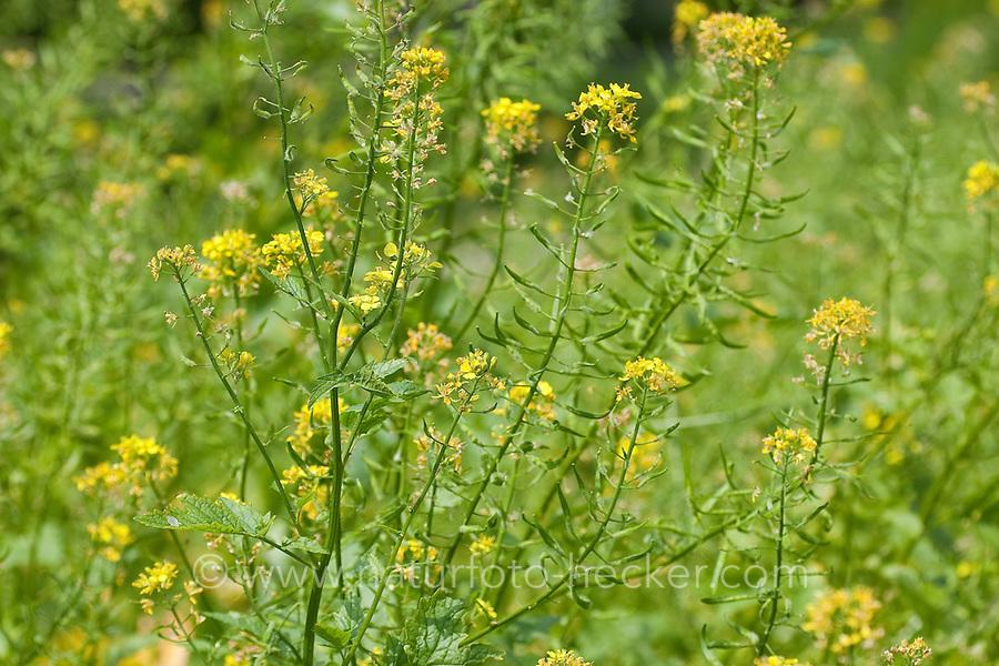 Weißer Senf, Weisser Senf, Gelbsenf, Sinapis alba, Brassica alba, White Mustard